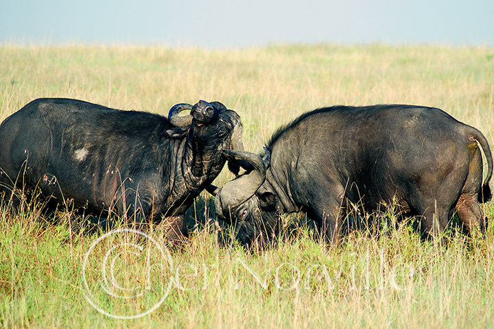 Fighting Cape Buffalo